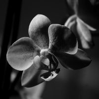 Orchid I by Freya7
