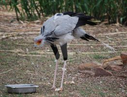 Secretary Bird by ManitouWolf
