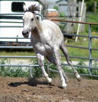 Grey quarter horse canter turn front on by equustock