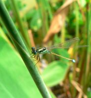 Smiling dragonfly :D by guspath