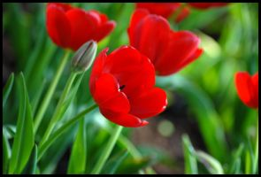 More Red Tulips by St0DaD