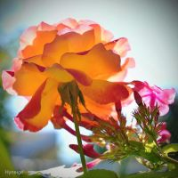 Rose en transparence d'orange by hyneige