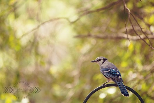 Blue Jay by CandiceSmithPhoto
