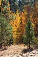 Aspens amid the pines by KrazyKim