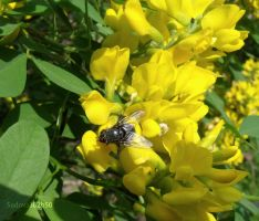 Fly on yellow blooms by Sadova302b50