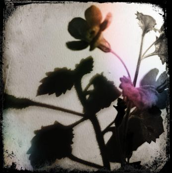 Shadow of a flower... by ansdesign