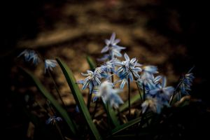 blue Hyacinth by light-scape