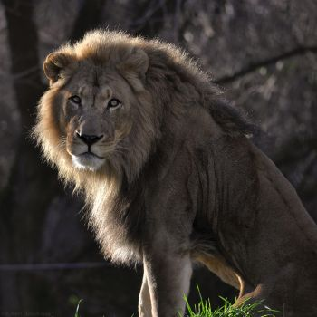 Sepia Lion 2 by robbobert