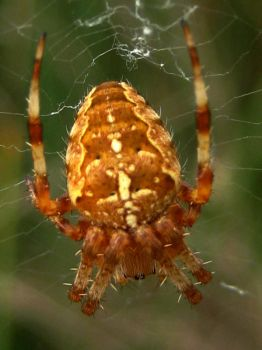 Orb Web Spider 3 by iriscup