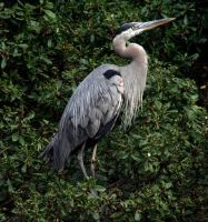 Great Blue Heron by Mikaboshi