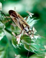 Miridae by iriscup