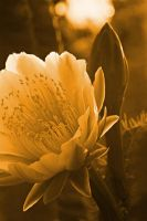 Cactus flower -Sepia by a6-k