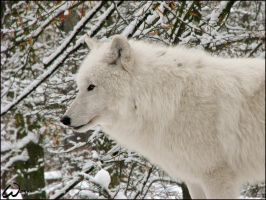Arctic wolf, hot in freeze by woxys
