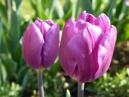 Purple Tulips (7th Istanbul Tulip Festival) by Aquamarin-Graphics