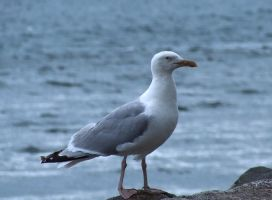 Seagull by GreatJester