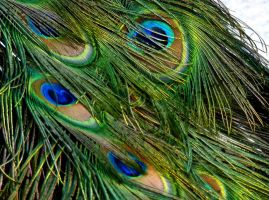 Stock Photo: Peacock Feathers by elisafox-stock