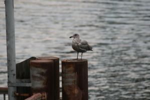 ANOTHER GULL by BoothAdams