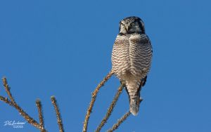 Hawk Owl  another first by DGAnder