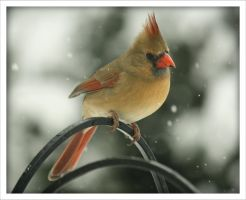 Cardinal In the Snow by Merhlin