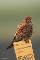 Common Kestrel by ClaudeG