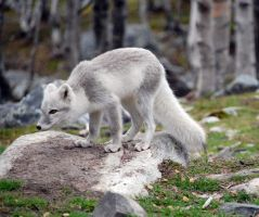 Arctic fox stock 5 by GrayeyesStock