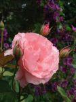 Rose in the Rain I by hyneige