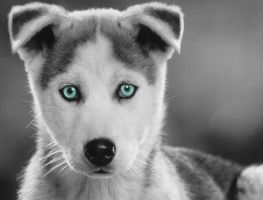 Husky puppy by Thelema001