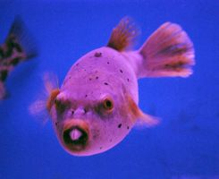 Bucktoth Puffer Fish by ReSaturate