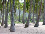 cocoteros - coconut trees by pedrorondon