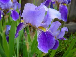 Iris by Blinded-Stock
