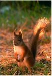 Squirrel by TiLa