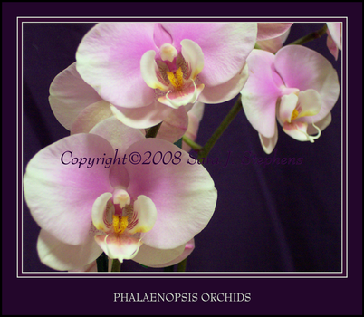 Phalaenopsis Orchids by DragonEyzs