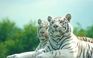 White tigers by cherrypieman