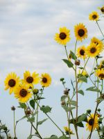 sunflowers3 by lampshaded-stock