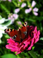 European Peacock on a zinnia by BlackEyesSnowAngel
