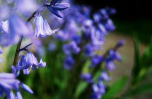 Bluebells by draconis393