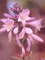 Hosta Blossom by Jhale66