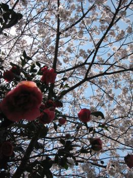 cherry tree and camellia by PegMegan28