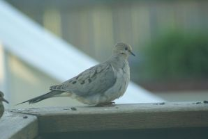 Dove 001 by MonsterBrand-stock