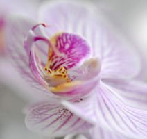 Orchid love by Holunder