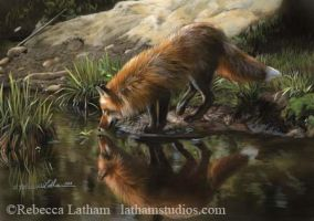 Beside Still Waters - Red Fox by rebeccalatham