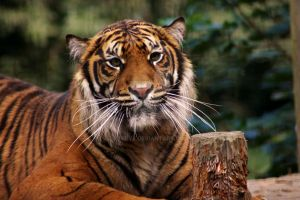 Sumatran Tiger Face by Tebyx