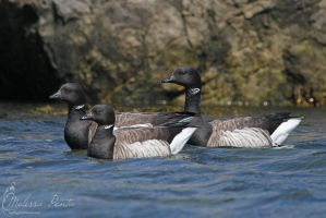 Brant by mydigitalmind