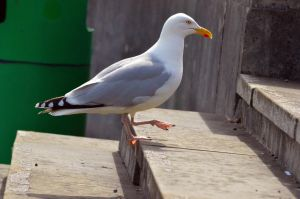 Stairwalking seagull by Missmith91