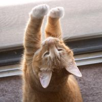 Tabby stretching by IceForest
