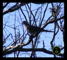 Spotted Turtledove by Ranger-Roger-Reserve