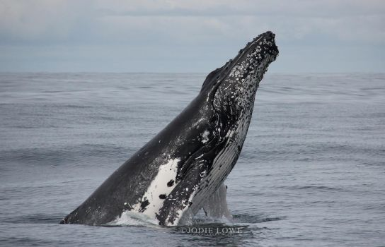 Humpback Whale Headslapping by Oracle88