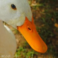 Not an ugly Duck by Rock--ME