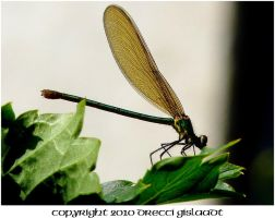 DRAGONFLY by Gislaadt
