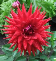 Red Spiky Flower - Dahlia Hybrid by fuguestock